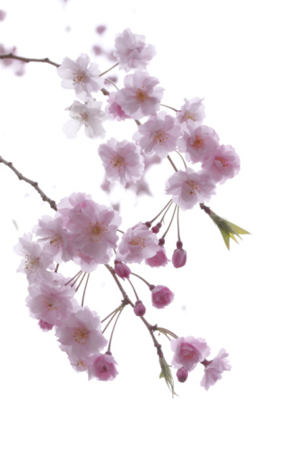Cherry Blossom「Close-up of cherry blossoms」:スマホ壁紙(19)