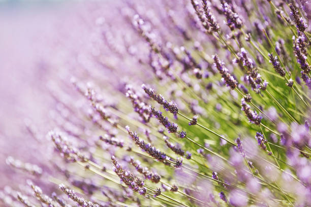 Close-up of lavender in Provence, France:スマホ壁紙(壁紙.com)