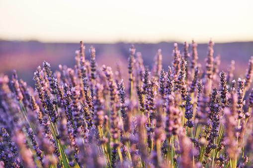 French Lavender「Close-up of lavender in Provence, France」:スマホ壁紙(14)