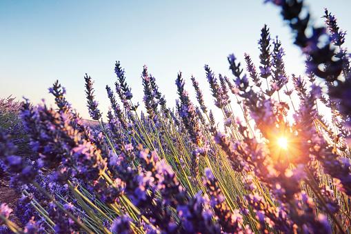 French Lavender「Close-up of lavender in Provence, France」:スマホ壁紙(0)