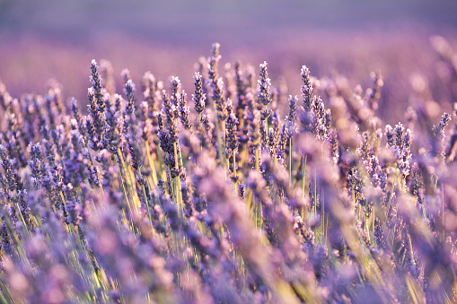 French Lavender「Close-up of lavender in Provence, France」:スマホ壁紙(15)