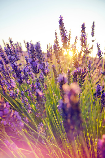 French Lavender「Close-up of lavender in Provence, France」:スマホ壁紙(19)