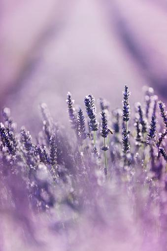 French Lavender「Close-up of lavender in Provence, France」:スマホ壁紙(4)