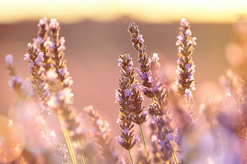 French Lavender「Close-up of lavender in Provence, France」:スマホ壁紙(13)