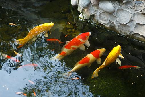 Carp「Close-Up Of Koi Carps Swimming In Pond」:スマホ壁紙(3)