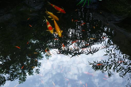 Carp「Close-Up Of Koi Carps Swimming In Pond」:スマホ壁紙(7)