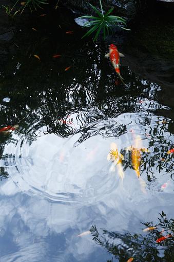 Carp「Close-Up Of Koi Carps Swimming In Pond」:スマホ壁紙(6)