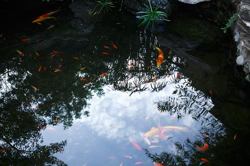 Carp「Close-Up Of Koi Carps Swimming In Pond」:スマホ壁紙(2)