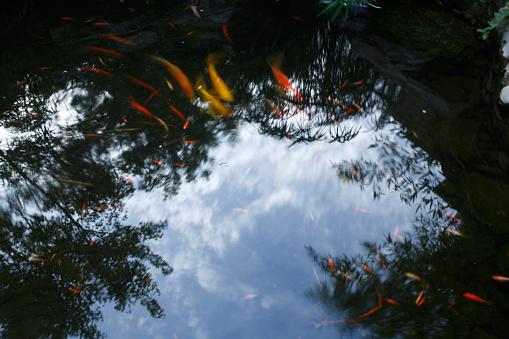 Carp「Close-Up Of Koi Carps Swimming In Pond」:スマホ壁紙(9)