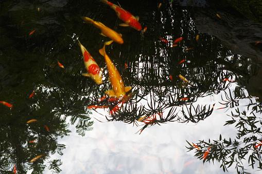 Carp「Close-Up Of Koi Carps Swimming In Pond」:スマホ壁紙(0)