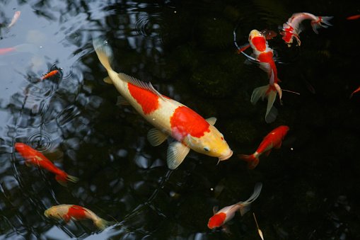 Carp「Close-Up Of Koi Carps Swimming In Pond」:スマホ壁紙(16)