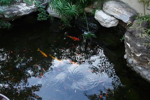Carp「Close-Up Of Koi Carps Swimming In Pond」:スマホ壁紙(19)
