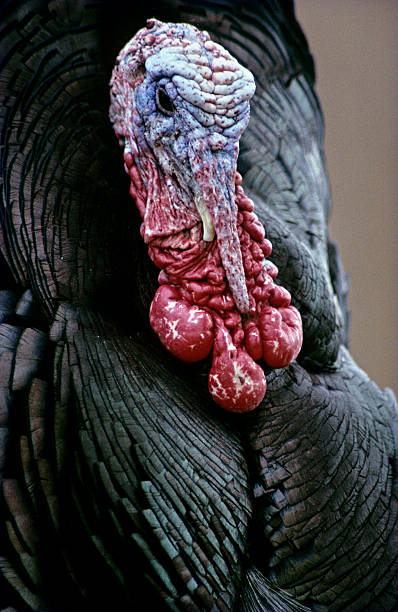Closeup of Wild Turkey, Meleagris gallopavo, Arizona, USA:スマホ壁紙(壁紙.com)