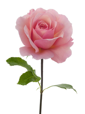 Pink「Close-up of Rosa 'Congratulations' with leaves on white.」:スマホ壁紙(15)