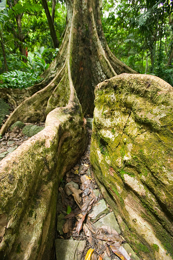 Nadi「Close-up of Dawa Tree With Buttress Roots」:スマホ壁紙(17)