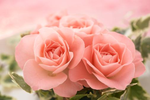 薔薇「Close-up of pink roses」:スマホ壁紙(19)