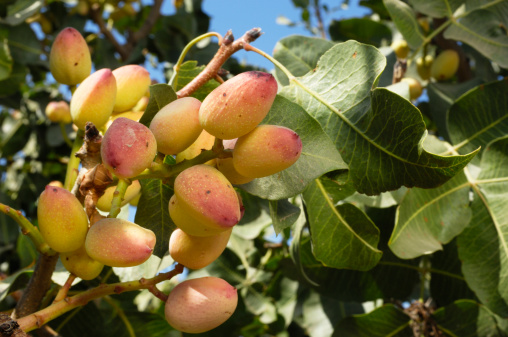 Grove「Close-up of Ripening Pistachio on Tree」:スマホ壁紙(10)