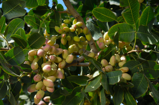Grove「Close-up of Ripening Pistachio on Tree」:スマホ壁紙(12)