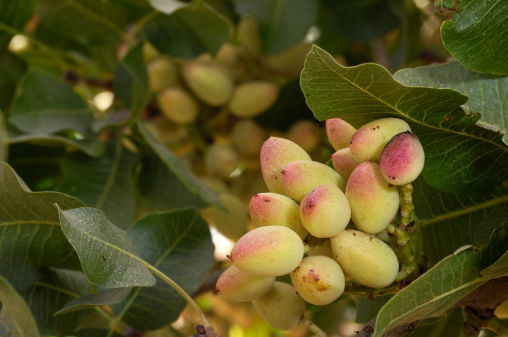 Grove「Close-up of Ripening Pistachio on Tree」:スマホ壁紙(6)