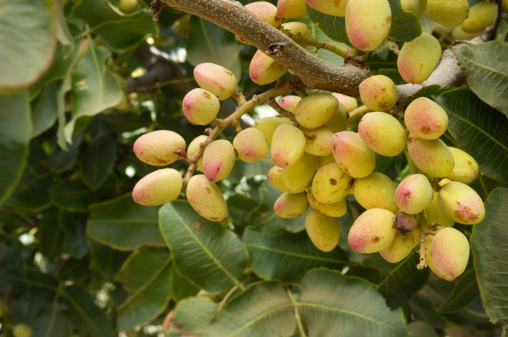 Grove「Close-up of Ripening Pistachio on Tree」:スマホ壁紙(6)