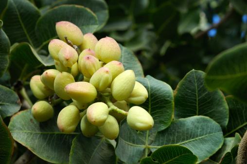 Grove「Close-up of Ripening Pistachio on Tree」:スマホ壁紙(18)