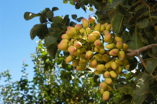 Grove「Close-up of Ripening Pistachio on Tree」:スマホ壁紙(12)