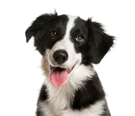 Border Collie「Close-up of a Border Collie isolated on white」:スマホ壁紙(17)