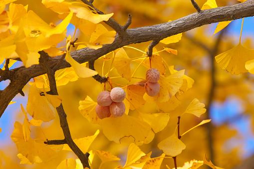 紅葉「Close-up of gingko tree in autumn, Tokyo Prefecture, Honshu, Japan」:スマホ壁紙(17)
