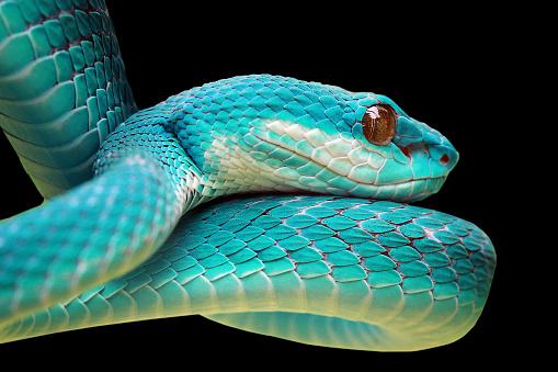 Alertness「Close-up of a Blue viper snake」:スマホ壁紙(16)