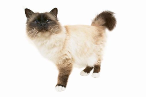 バーマン猫「Close-up of a cat」:スマホ壁紙(16)