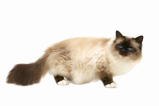 バーマン猫「Close-up of a cat」:スマホ壁紙(6)