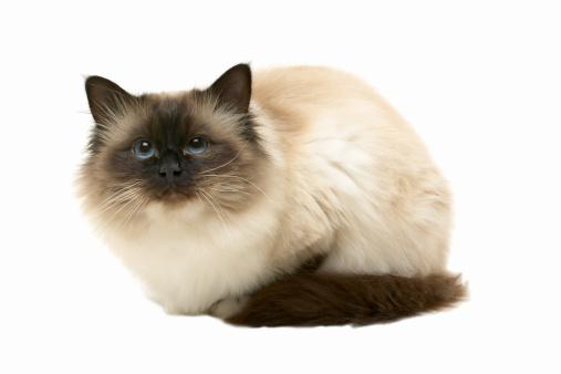 バーマン猫「Close-up of a cat」:スマホ壁紙(19)