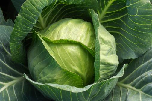 Cabbage「Close-up of Organic Cabbage Growing in Coastal Field」:スマホ壁紙(19)