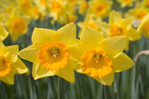 水仙「Close-up of Daffodils」:スマホ壁紙(19)