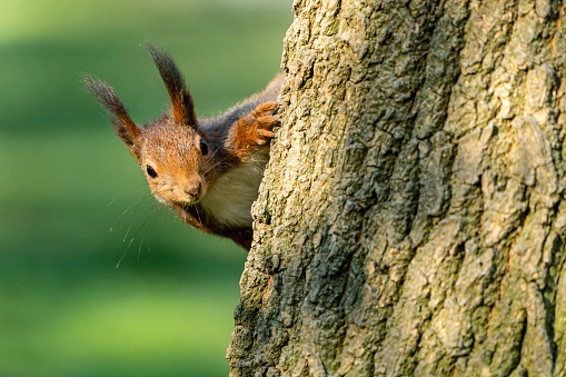Squirrel「Close-up of Eurasian red squirrel on tree trunk」:スマホ壁紙(13)
