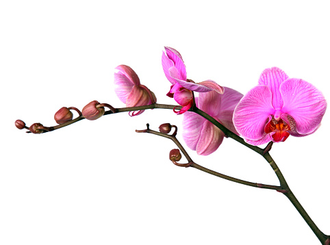 Single Flower「Close-up of elegant pink orchid twig」:スマホ壁紙(19)