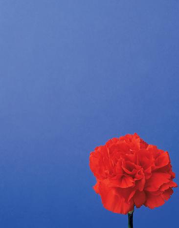 カーネーション「close-up of a red carnation」:スマホ壁紙(1)
