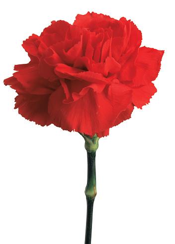 カーネーション「close-up of a red carnation」:スマホ壁紙(5)