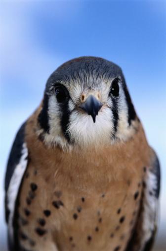 Hawk - Bird「Close-Up of Kestrel」:スマホ壁紙(5)