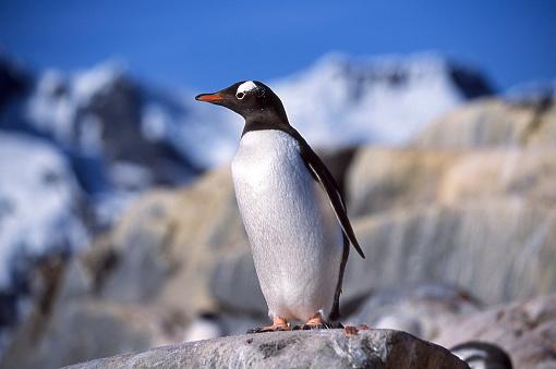 ビーチ「ロッキー Outlook 上に立って野生の Gentoo ペンギンのクローズ アップ」:スマホ壁紙(10)