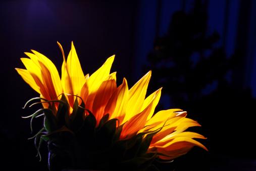ひまわり「Close-up of a sunflower, Studio shot」:スマホ壁紙(8)