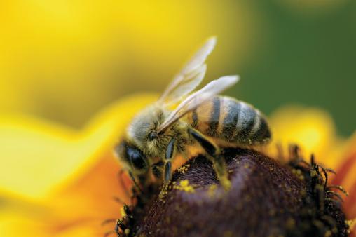 Stamen「Close-up of honeybee Brown-Eyed Susan flower」:スマホ壁紙(2)