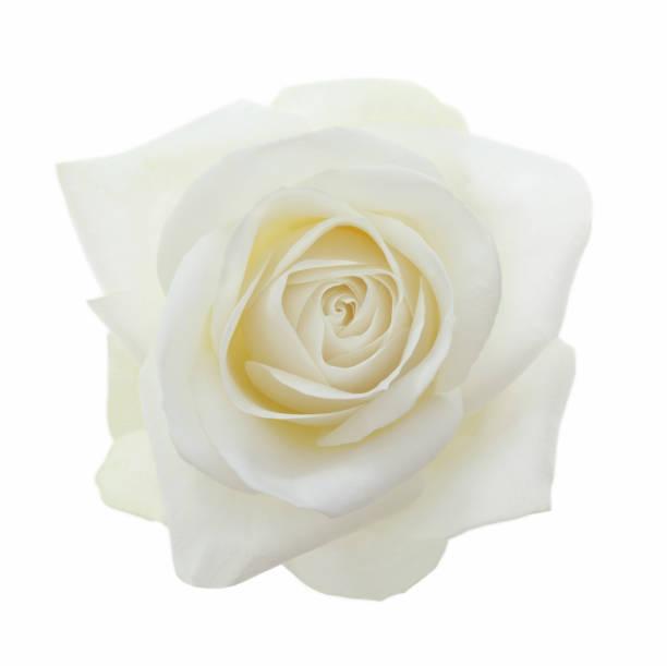Close-up of entire  fragrant white rose on white.:スマホ壁紙(壁紙.com)