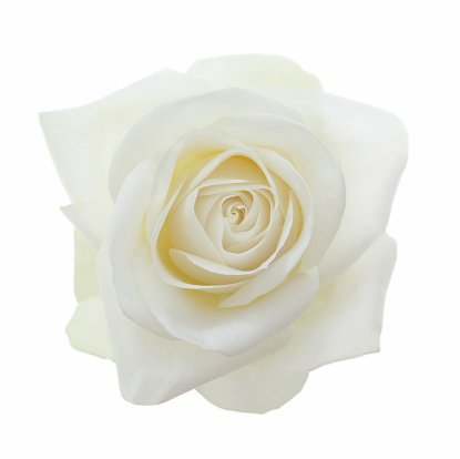 バラ「Close-up of entire  fragrant white rose on white.」:スマホ壁紙(14)