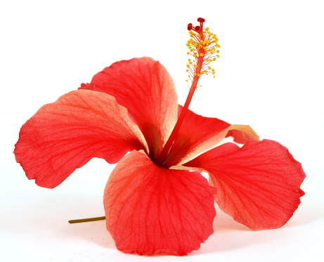 hibiscus「Closeup of red hibiscus on white background」:スマホ壁紙(12)