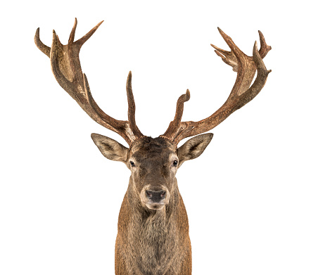 Belgium「Close-up of a red deer stag」:スマホ壁紙(7)