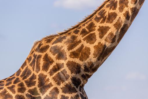 キリン「Close-up of a giraffe neck, South Africa」:スマホ壁紙(17)
