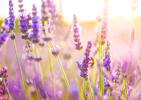 Lavender - Plant「Close-up of a bee in lavender field in Provence, France.」:スマホ壁紙(1)