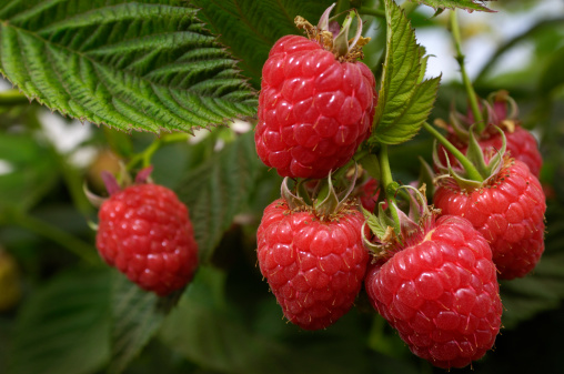 Raspberry「Close-up of Ripening Organic Raspberries on the Vine」:スマホ壁紙(13)
