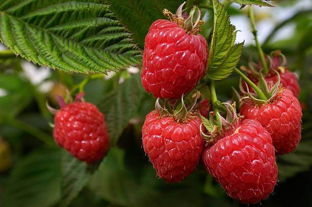 Close-up of Ripening Organic Raspberries on the Vine:スマホ壁紙(壁紙.com)